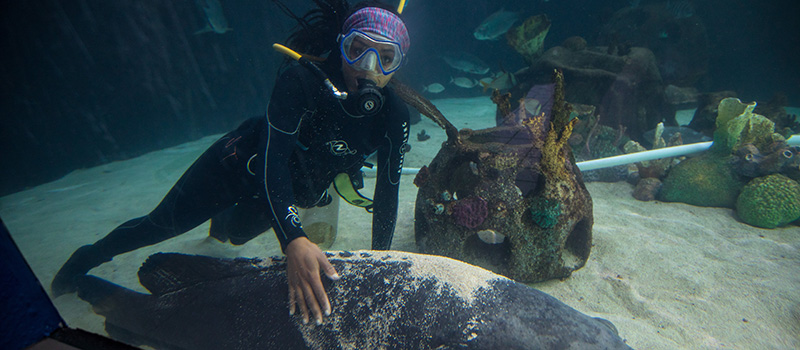 Wearing her scuba gear, Amanda Hodo interacts with a goliath grouper.
