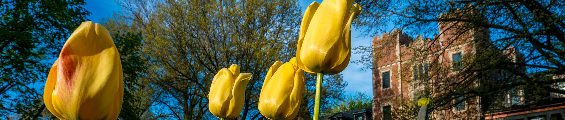 Yellow Tulips in the foreground with Gates Tower in the background.