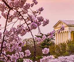 Cherry Blossoms in Washington DC